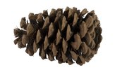 Stages of a Pine Cone