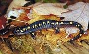 Salamanders' Natural Habitat