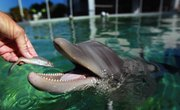 Why Is Mahi Mahi Called a Dolphin?
