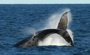 What Is a Whale Fluke?