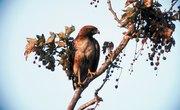 How to Tell Male & Female Hawks Apart