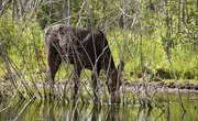 Moose Habitat in Arizona