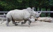 How Fast Does a Rhino Run?