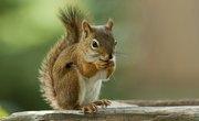 Why Do Squirrels Lose Their Hair?