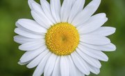 Parts of a Daisy Flower