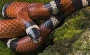 How to Identify a Copperhead Vs. a Milk Snake