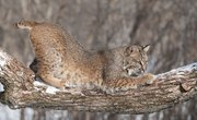 What Adaptations Does a Bobcat Have?