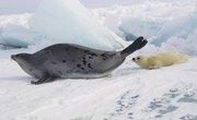 What Foods Do Harp Seals Eat?