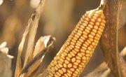 What Is Deer Corn?