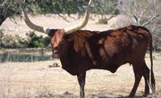What Country Introduced Cattle to the U.S.?