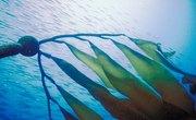 What Plants Live in the Atlantic Ocean?
