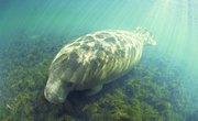 Biotic Factors in the Florida Manatee Ecosystem