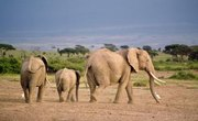 Endangered Plants & Animals of the African Savanna