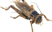 Differences Between Crickets & Cockroaches