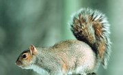 Squirrel Mating and Gestation