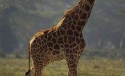 How to Make a Giraffe Diorama
