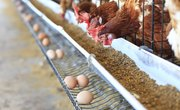 How Do Chickens Fertilize Eggs?