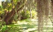 Symbiotic Relationship Between Spanish Moss & Trees