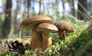How Do Fungi Reproduce?