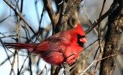 Information on the Cardinal Bird
