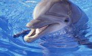 What Is a Dolphin's Life Span?