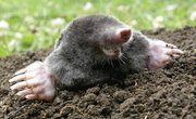 Difference Between a Mole & a Shrew