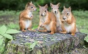 How Do Squirrels Mate?