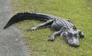 How to Tell the Difference Between Alligators and Crocodiles
