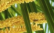 How Do Palm Trees Reproduce?