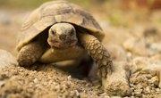 What Do Tortoises Eat?