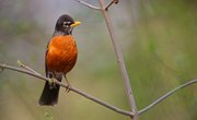 Facts About the Wisconsin State Bird - American Robin
