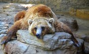 How Long Do Grizzly Bears Hibernate?