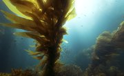 Sea Kelp Facts for Kids