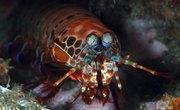 What Do Ocean Mantis Shrimp Eat?