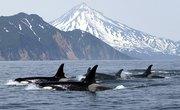 How Do Killer Whales Sleep?