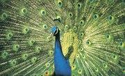 Characteristics of a Peacock Bird