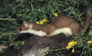 The Signs of Weasels
