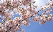 How to Identify Wild Cherry Trees