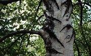 American Beech Tree Adaptations