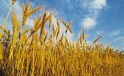 What Are the Six Stages of the Life Cycle of a Wheat Plant?