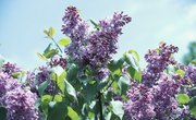 How to Make Lilac Fragrance