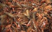 Adaptations of the Crawfish