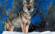 What Are Some Similarites and Differences Between Wolves and Coyotes?