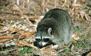 Do Raccoons Dig Holes in Yards?