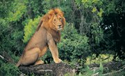Where Do Lions Shelter in the Wild?