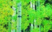 Facts on Aspen Trees
