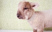 How to Wean an Orphan Sheep From Milk Replacer