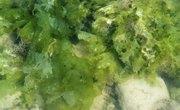 Characteristics of Seaweed