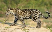 Why Are Jaguars Endangered Animals?