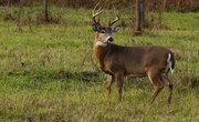 When Do Whitetail Deer Antlers Fall Off?